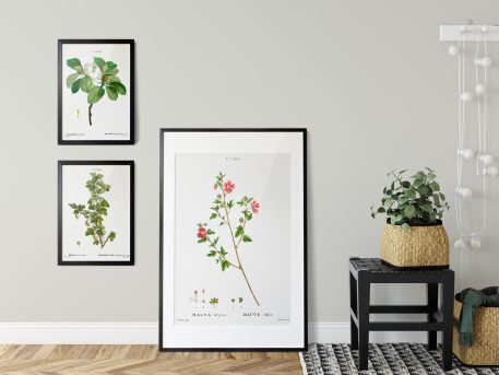 rysunek rycina botaniczna plakat