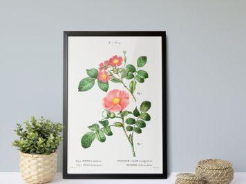 rysunek kwiatów plakat rycina dzika róża