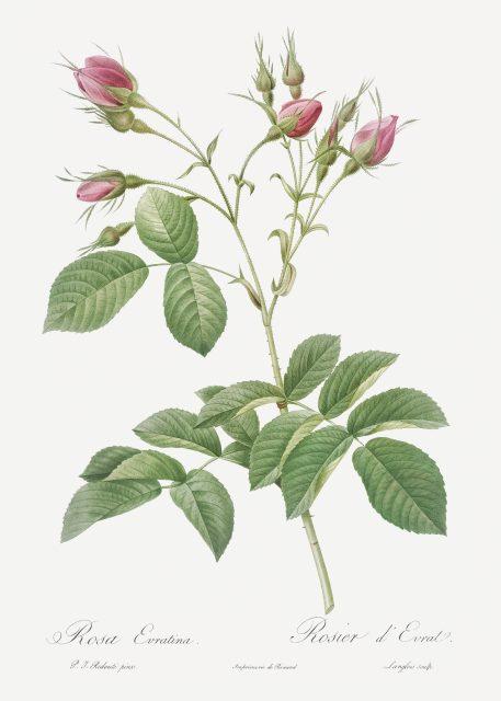 róża róże kwiaty imieniny urodziny prezent
