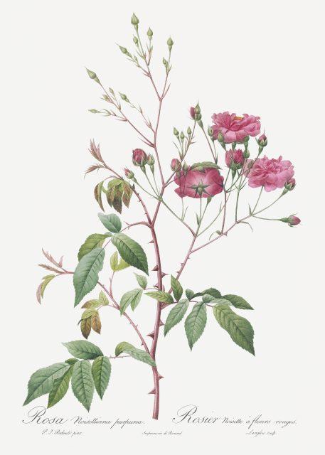 róża vintage róże kwiaty imieniny urodziny prezent
