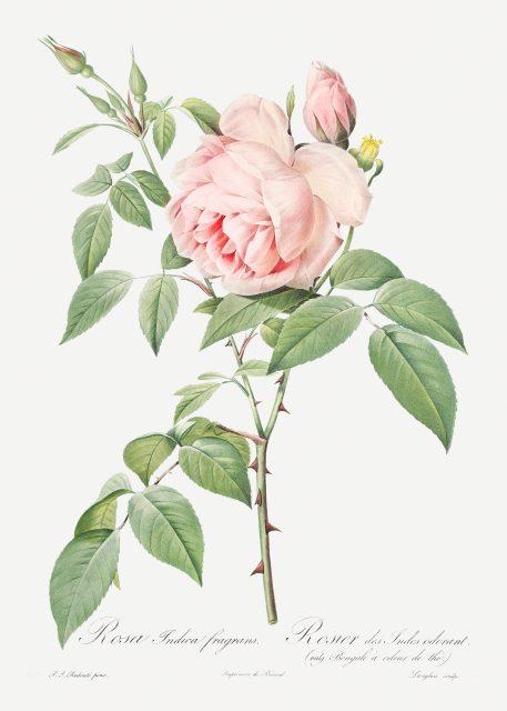 róża rysunek vintage róże kwiaty imieniny urodziny prezent
