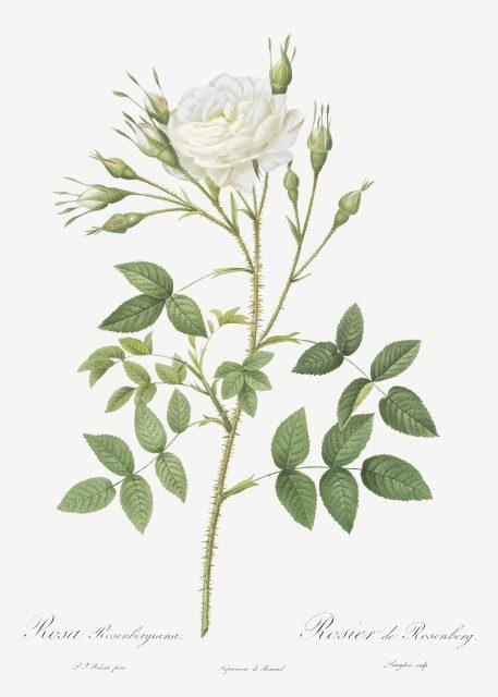 róża róże vintage kwiaty imieniny urodziny prezent